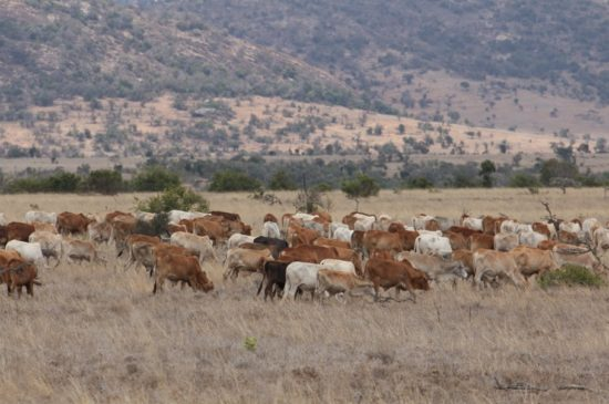 Cattle grazing on Lolldaiga Hills Ranch at the end of the short dry season.