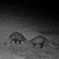 3 White tailed mongoose small