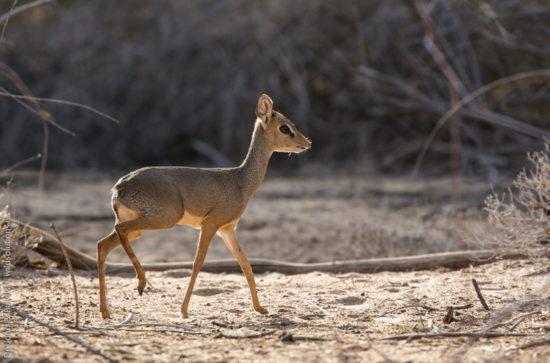 Adult male Kirk's dik-dik, Samburu National Reserve, central Kenya. Photograph by Yvonne de Jong and Tom Butynski.