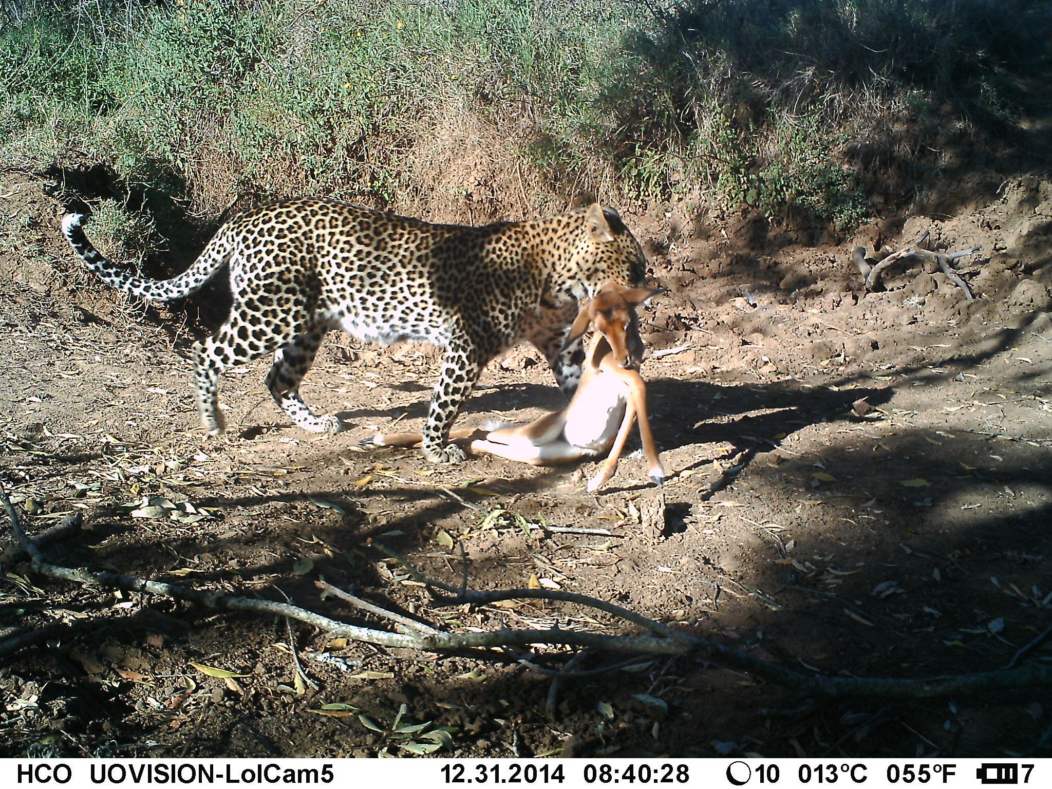 Leopard (Panthera pardus) with impala (Aepyceros melampus) prey. ZSL/EDGE/LHRP InstantWild camera trap image.