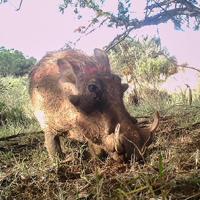 7 - common warthog (1)