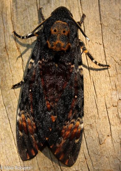 Death's head hawk moth (Acherontia atropos).  Family Sphingidae.