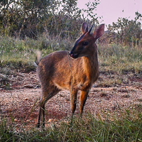 Adult male common duiker - small