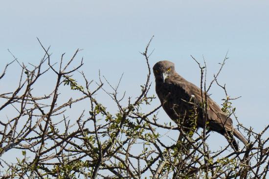 Brown Snake-eagle (Circaetus cinereus) at Lolldaiga Hills Ranch.