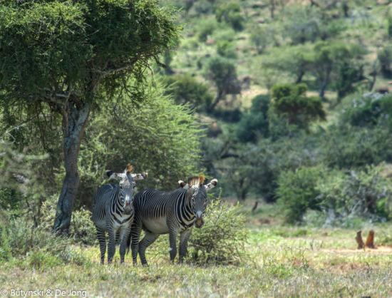 Grevy's zebra (Equus grevyi) on Lolldaiga Hills Ranch. Photograph by Butynski & De Jong.