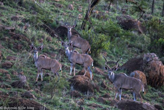 Greater kudu (Tragelaphus strepsiceros) at Lolldaiga Hills Ranch. Photograph by Tom Butynski & Yvonne de Jong