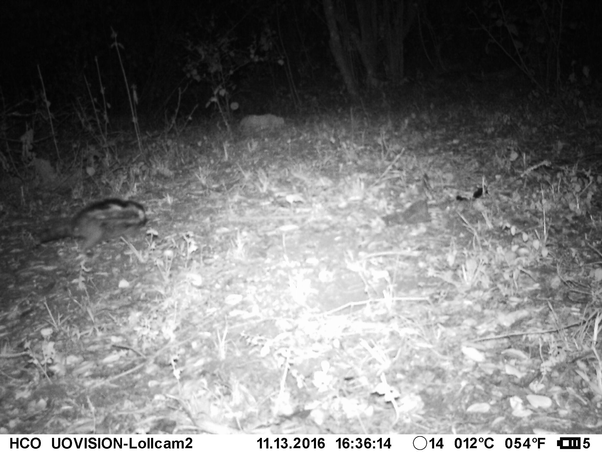 Maned (crested) rat Lophiomys imhausi in riverine forest at 1800 m asl along the Timau River, Lolldaiga Hills Ranch. Photograph obtained on 13 November 2016 by the Zoological Society of London/Lolldaiga Hills Research Programme's Camera Trapping Project.
