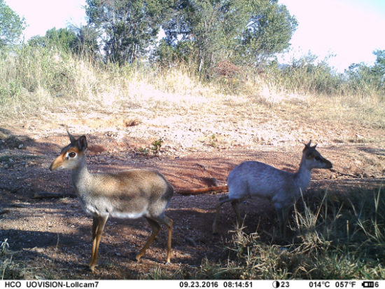 'Typical-coloured' adult female (left) and 'frosted' (grizzled grey) adult male (right) Günther's dik-dik, Lolldaiga Hills Ranch. Image by ZSL/LHRP camera trap.