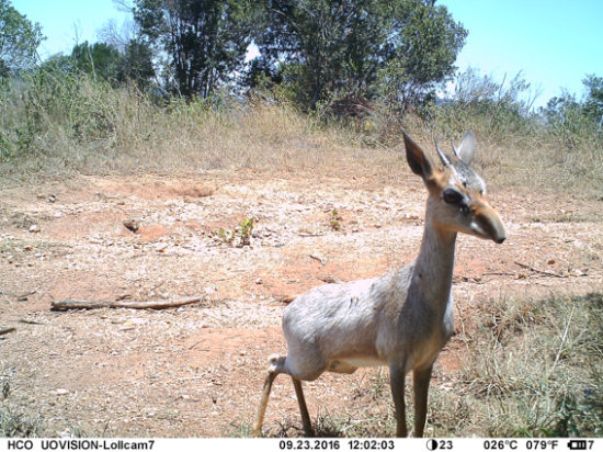 Frosted adult male Günther's dik-dik, Lolldaiga Hills Ranch. Image by ZSL/LHRP camera trap.