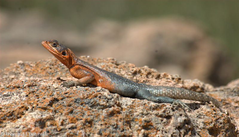 The poorly-known Elmenteita rock agama (Agama caudospina), endemic to south-western Kenya, is common in the LHCL.