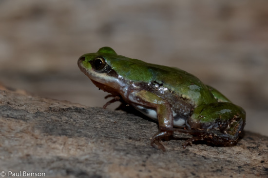 Dainty Frog (Cacosternum)
