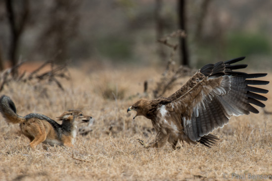 Black-backed jackal (Canis mesomelas)  and tawny eagle (Aquila rapax)