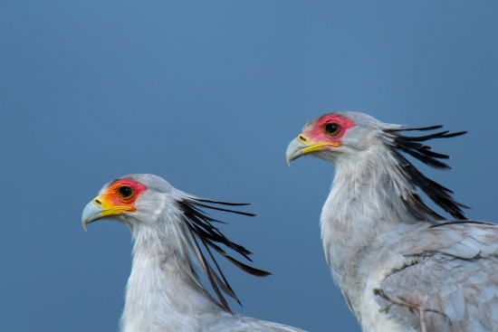 Secretary bird (Sagittarius serpentarius) at Lolldaiga Hills Ranch. Photograph by Paul Benson.