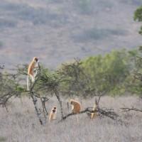 Eastern patas monkey (Erythrocebus patas pyrrhonotus), Ole Naishu, Lolldaiga Hills Conservation Landscape