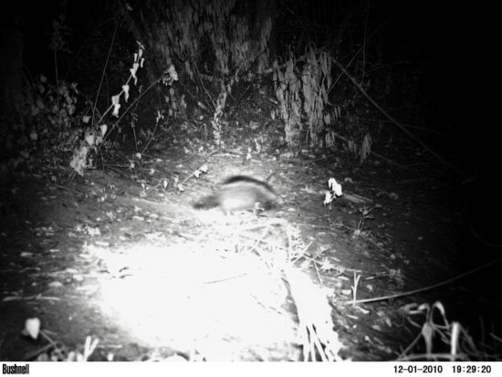 Maned (crested) rats Lophiomys imhausi in dense bushland on southwest Lolldaiga Hills Ranch in 2010 at 1,860 m asl. Photographs obtained by camera trap (Yvonne de Jong & Tom Butynski).