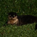 De Jong & Dekker - African Clawless Otter - MKSC (2) small
