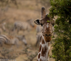 Reticulated giraffe (Giraffa camelopardalis), Lolldaiga Hills Ranch. Photograph by Yvonne de Jong