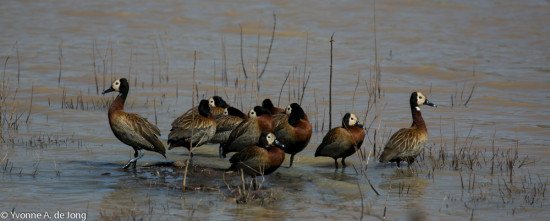 White-faced whistling duck (Dendrocygna viduata) at Lake Anthony, Tumbili Estate. Photograph by Yvonne de Jong