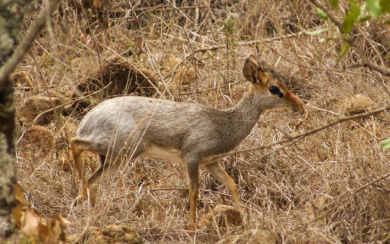 Frosted adult male Günther's dik-dik, Boma ya Corner, Laikipia Nature Conservancy, western Laikipia. Photograph by Mike Roberts.
