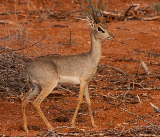 Adult male Kirk's dik-dik Garissa, central east Kenya. Photograph by Yvonne de Jong and Tom Butynski.