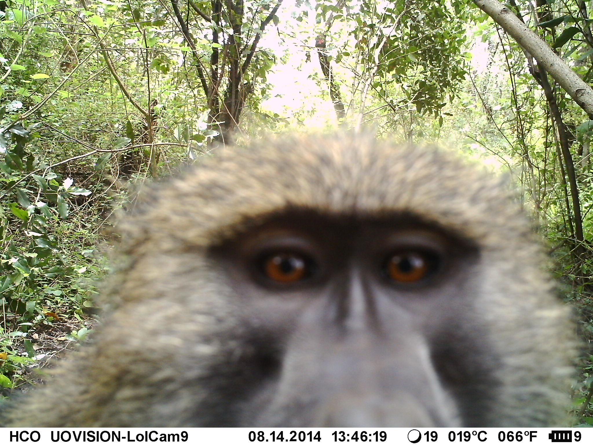 IMAG0128 - Olive baboon