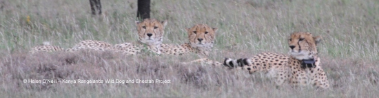 When we went to look for him the next day, we were very pleased to see Tenai back with his two brothers and looking very relaxed