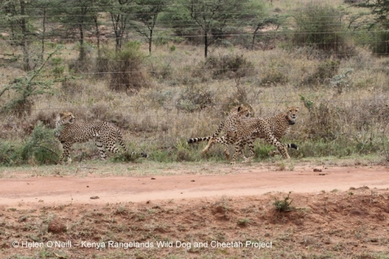 One week after the collaring we found the trio of cheetahs crossing the Dol Dol road from Ol Jogi.