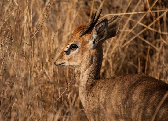 Adult male Kirk's dik-dik Madoqua kirkii, Meru National Park, central Kenya. Note the relatively short muzzle and wide white eye-ring. Photograph by Yvonne de Jong.