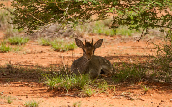 Adult male Günther's dik-dik, Mount Forole, Kenya-Ethiopia border. Photograph by Yvonne de Jong and Tom Butynski.Photograph by Yvonne de Jong and Tom Butynski.