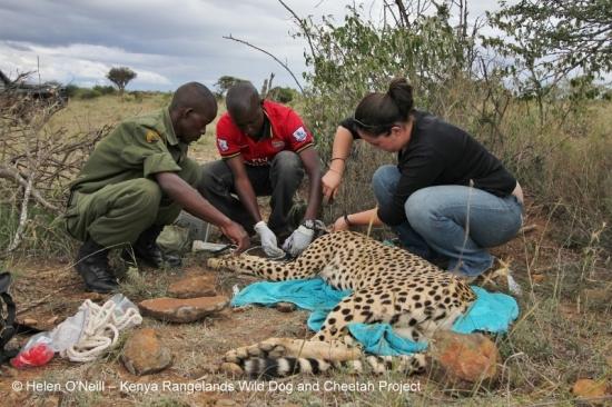 PhD student Helen O'Neill fits Tenai's collar as he is monitored by KWS vet Mathew Mutinda and Mpala ranger, Titus.