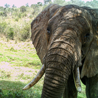 LHRP - Elephant Camera Trap small