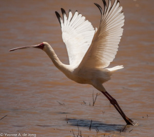 African spoonbill (Platalea alba) on one of the many small lakes in the LHCL. There are probably more than 400 species of birds in the LHCL.