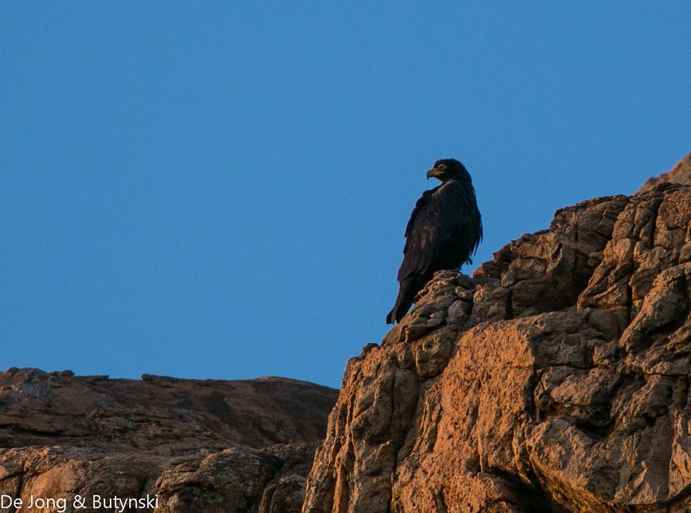 Verreaux's eagle (Aquila verreauxi) near the northwest corner of Lolldaiga Hills Ranch