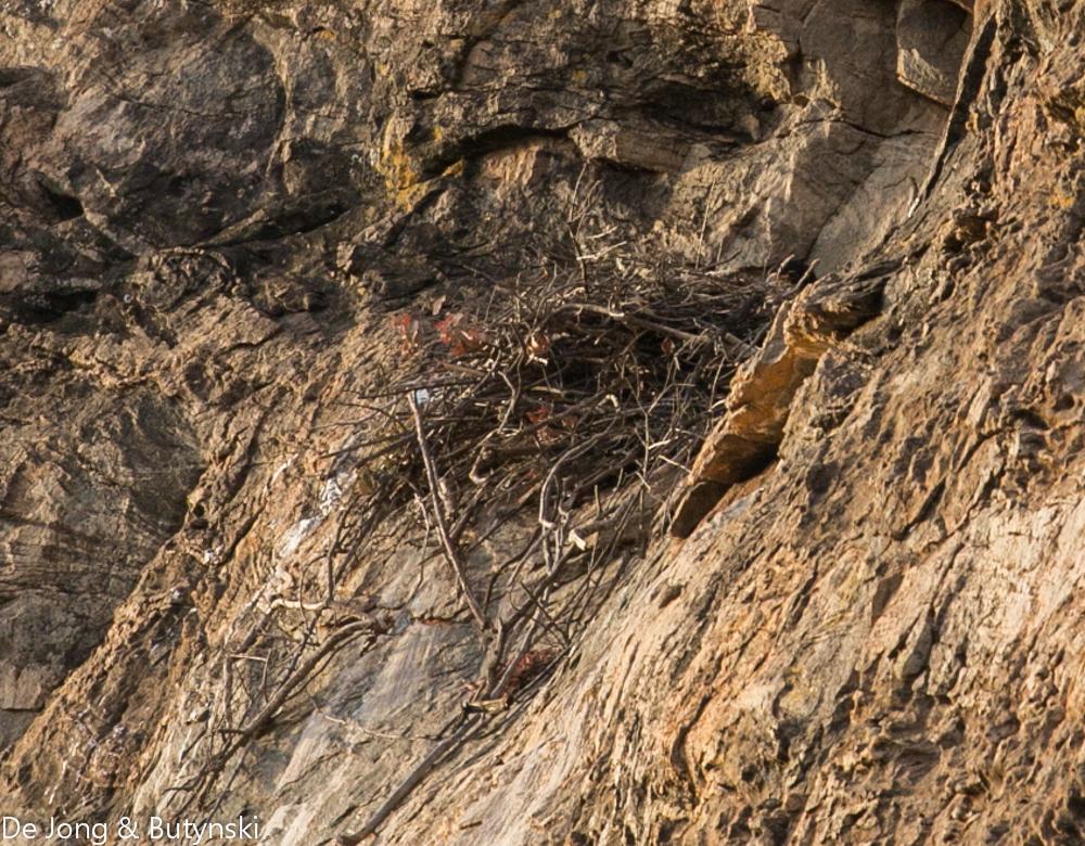 Verreaux's eagle (Aquila verreauxi) nest near the northwest corner of Lolldaiga Hills Ranch