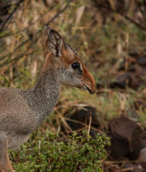Subadult male Günther's dik-dik, east of Lake Bogoria, central Kenya. Photograph by Yvonne de Jong and Tom Butynski.