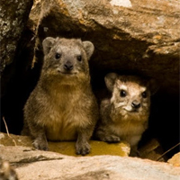 Rock hyrax small
