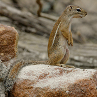 Striped ground squirrel -small