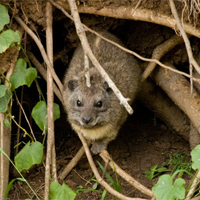 Tree hyrax OPC