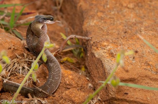 Herald / White-lipped snake (Crotaphopeltis hotamboeia)