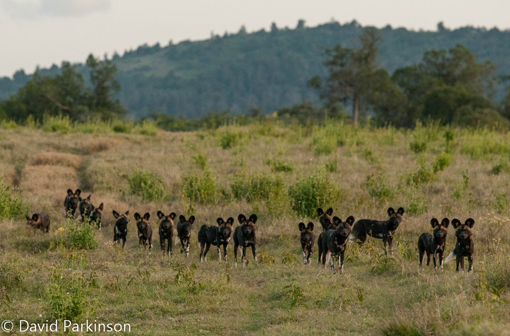 African wilddogs (Lycaon pictus) on Lolldaiga Hills Ranch. Photograph by David Parkingson