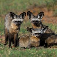 Bat eared fox juverniles