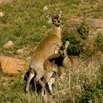 klipspringer small