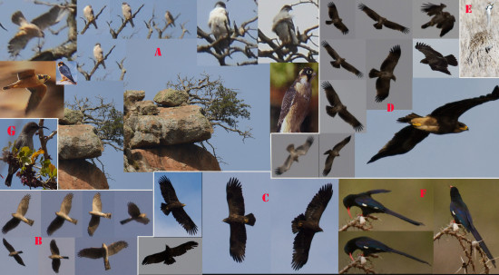 Raptors by Lolldaiga Hills Ranch. Photographs by the survey team