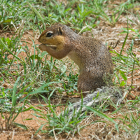 unstriped grn squirrel small