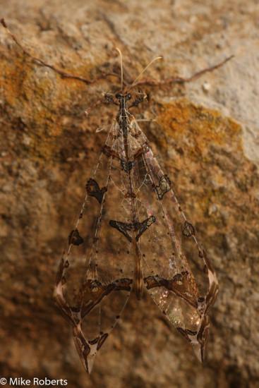 Tree-hole antlion (Cymothales spectabilis).  Family Myrmeleontidae. Photograph by Mike Roberts